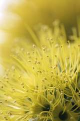 All Yellow (MudMapImages) Tags: tree australia yellowflower nsw midnorthcoast maningvalley