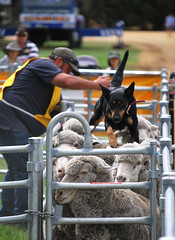 SEFD_Yard Dogs_DSC_0147_D (renrut01) Tags: sheep championships trials backing kelpie yarddogs lucindale southeastfielddays