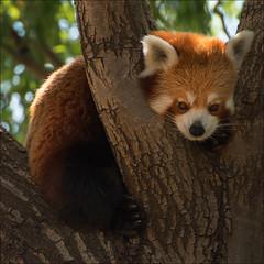 yarralumla-1101-ps-w (pw-pix) Tags: tree face furry funny sitting australia redpanda canberra resting act nationalzooandaquarium yarralumla