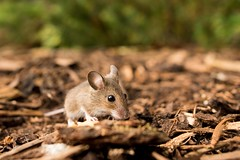 Baby Wood Mouse (Lyle McCalmont) Tags: