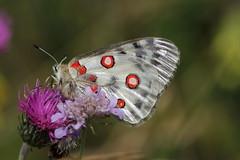 Apollo (lincerosso) Tags: farfalle butterflies estate montegrappa montepaln apollo parnassiusapollo bellezza armonia pascoli