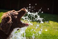 30/52 keeping cool (pollyjaney) Tags: dog water action outdoor rufus spaniel splash 52weeksfordogs