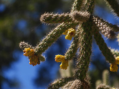 Cylindropuntia Spinosior Cactus (fcphoto) Tags: cylindropuntia spinosior cylindropuntiaspinosior cactus fruit bokeh sunny green blue plant