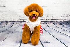 MATCHA LOW-15 (Michiez Chua Petography) Tags: poodle toypoodle singaporedog singapore redpoodle cute dog dogs canon 35mm studio studioshoot dogshoot