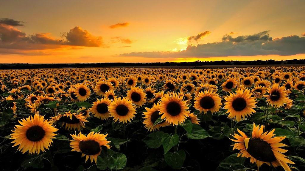 Kết quả hình ảnh cho cánh đồng hoa mặt trời