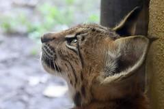 lynx lynx carpathica (Joachim S. Mller) Tags: jungtier juvenile karpartenluchs eurasischerluchs nordluchs luchs lynxlynxcarpathica lynxlynx lynx carpathianlynx eurasianlynx katze cat sugetier mammal tier animal zoo zookarlsruhe karlsruhe badenwrttemberg deutschland germany