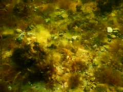 Perch. Underwater Ribersborg (Alenius) Tags: underwater under water ocean snorkling snorkelling snorkeling dive diving resund malm sweden skne tng sea snorkla sverige undervatten vatten hav havet dyk dyka nikon coolpix aw130 aborre aborrar blstng klotng bladder wrack bladderwrack seaweed fucus vesiculosus