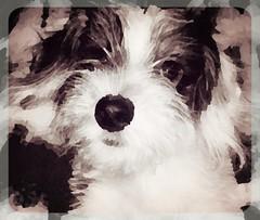 Introducing Huey* (Photosintheattic) Tags: dog animal pet family lovedone bundleofjoy curious sweet puppy precious loving unconditionallove