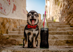 Stop please (StoryofLove Chihuahuas) Tags: chihuahua cachorro chihuahuas cute cahorrito cool coca coke barcelona summer verano refresco perrito perro puppi puppie puppy pets pet pupie playa cola mascota love black