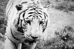 IMG_0729_DxO_2 (qconnan) Tags: tigreblanc tigre touroparc zoo france
