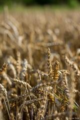 DSC_1127 (Marlon Fried) Tags: macro makro bokeh getreide cereals weizen wheat crops grain field