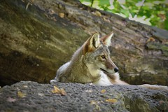 Coyote on a Ledge (adamsdale616) Tags: color beauty nature outdoor wisconsin dusk autumn golden water sky pond light new usa spring summer animals midwest colorful landscape northern nikon d7200 wildlife waterfront