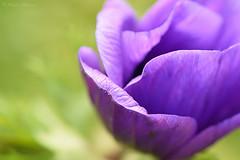 Purple (Maite Mojica) Tags: flor lila violeta morado prpura purple amapola jardn primavera