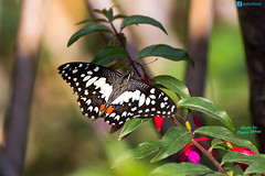 Citrus swallowtail (P.Ebner) Tags: papilio demodocus christmas butterfly citrus swallowtail farfalla insect insetto ali tropical tropicale africa