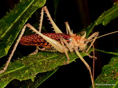 Tettigoniidae (Ecuador Megadiverso) Tags: book flickr grasshopper katydid loscedros orthoptera tettigoniidae andreaskay ecuador