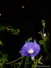 Ipomoea nil (Shiori Hosomi) Tags: 2016 september japan tokyo 23    flowers plants       solanales convolvulaceae ipomoea      noctivagant noctuary nocturnal night    flowersinthenight nightshot