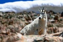 2016-06-17 Uinta Mountains 2786 (rangerbatt) Tags: mountain goat wildlife mountaingoat shaggygoat sheddinggoat utah shaggy nikon 55300mm vr d5300 outdoor animal uintamountains oreamnosamericanus rockymountaingoat utahwildlife