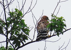 I'm always looking for hawks in the Grove. (kennethkonica) Tags: nature bird canonpowershot summer july global random hoosiers marioncounty midwest america usa indiana indianapolis indy colors animaleyes animal outdoor hawk trees animalplanet feathers beak raptor leaves thebestshotoftheday redshoulderedhawk limb fantasticwildlife