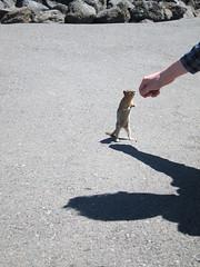 Golden-mantled Ground Squirrel, Dee Wright Observatory (Perkules) Tags: deewrightobservatory cascademountains lava willamettenationalforest mckenziepass goldenmantledgroundsquirrel spermophiluslateralis cornelius oregon