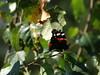 Admiral (Vanessa atalanta) (Manuela Vierke) Tags: deutschland germany meckpomm mecklenburgvorpommern insel rügen prora tier animal tire animals schmetterling butterfly admiral falter tagfalter vanessaatalanta schwarz orange weis
