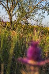 West Texas Morning (22 of 40) (mharbour11) Tags: wildcats elk purple sunrise westtexas texas sky windturbines windmill sun silhouettefire silhouette