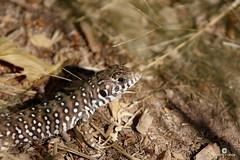 Lagartija ibrica (Podarcis hispanicus) (Juan Mara Coy) Tags: podarcishispanicus lagartija ibrica lizard