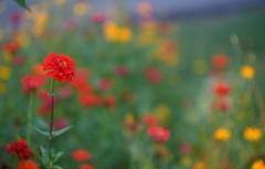 a little impressionist garden2 (gwuphd) Tags: enna lithagon 85mm f15 garden impressionist bokeh swirly