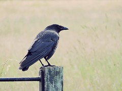 Crow (PhotoLoonie) Tags: crow carrion bird britishwildlife wildlife
