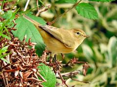 Chiffchaff! (macfudge1UK) Tags: nature 2016 avian bird britishbird britishbirds england fauna gb greatbritain oxfordshire oxon rspbgreenstatus uk wildlife allrightsreserved bbcautumnwatch autumn nikon coolpix coolpixp610 p610 nikoncoolpixp610 britain phylloscopuscollybita chiffchaff branch bush