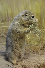 Arctic Ground Squirrel (demeeschter) Tags: canada yukon territory whitehorse beringia interpretive centre museum heritage archaeology palaeonthology history attraction science