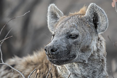 s AT Hyena mom_DSC_9653-2 (Andrew JK Tan) Tags: 2016 safari botswana mashatu hyena wildlife nature