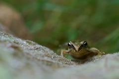 Froglet on a leaf #1 (Lord V) Tags: macro amphibian frog froglet baby