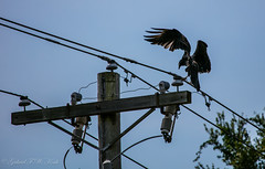 Hmmm, Bite here to Shut it Down? (Gabriel FW Koch (fb.me/FWKochPhotography on FB)) Tags: wires telephonepole pole electricwires bird outdoor animal outside wild wildlife vulture turkeyvulture flight landing wings flying eos dof bokeh lseries telephoto nature
