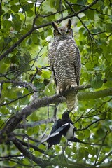 Leave me alone. (Peter Stahl Photography) Tags: greathornedowl owl magpie fall outdoors bird eos 5ds r