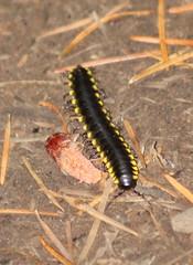 IMG_0624 Yellow-spotted Millipede - Haraphe haydeniana (Jon. D. Anderson) Tags: millipede cyanidemillipede harpaphehaydeniana yellowspottedmillipede
