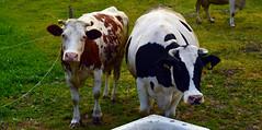 Muki (ChemiQ81) Tags: add tags beta polska poland polen polish polsko chemiq  poljska polonia lengyelorszgban  polanya polija lenkija  plland pholainn   pologne puola poola pollando    jura jurajski jurajskim szlakiem krowa krowy cow krava cows outdoor bonowice szczekociny