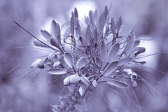 Friends are flowers that never fade (Chizuka2010) Tags: monochrome bokeh hmbt flower fleur cleome friends friendship violet macro macrophotography olympus omdem5 olympusm40150mmf28 luciegagnon
