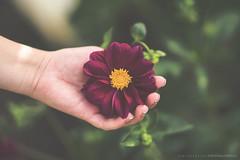 (CarolienCadoni..) Tags: sonyslta99 sony sal85f14z flower flowers hand bokeh dof letsbestill still