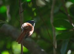 Mascarene paradise flycatcher (dave_poth) Tags: