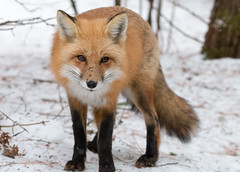 Red Fox (NicoleW0000) Tags: red fox wild wildlife photography carnivore animal
