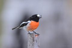 Scarlet Robin (Petroica boodang) with grub (Keefy2014) Tags: scarlet robin petroica boodang whiteman park