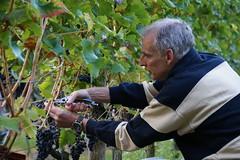 Concentration (Dannis van der Heiden) Tags: vinedresser vinyard aandebreedebeek nijkerk netherlands cutting bluegrapes grapes winegrapes concentration sigma18300mm slta58 winary