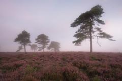 Mist on the Moor 2 (Tom_Drysdale) Tags: sunrise pine purple flower 2016 borders light moor scotland scotts mist kyles hill august tree fog heather duns colour bloom