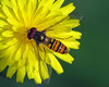 Episyrphus balteatus (erdragonfly) Tags: episyrphusbalteatus