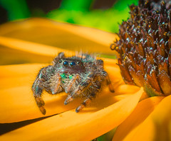 Eye Contact. (Omygodtom) Tags: macromonday macro tamron90mm insect bug jumpingspider flower flickr hunting fuzzy natural nature nikon dof d7100 texture outdoors abstract animalplanet