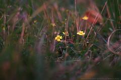 Potentilla erecta - Blutwurz (g e g e n l i c h t) Tags: potentilla erecta blutwurz rosaceae wiese pflanze staude nacht natur summicronr 50mm lumixgx7 bokeh