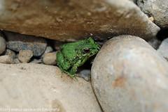 Sapito - Frog (Marco San Martin) Tags: verde green lago painted ngc amphibian frog campo sapo amphibious pintado anfibios anfibio marcosanmartin