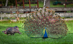Show Off (flopper) Tags: turkey farm wing peacock showoff ardenwood wildturkey fremontca