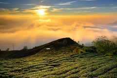 Golden Tea Field @ (Vincent_Ting) Tags: sunset sky clouds taiwan  formosa  jiayi   seaofclouds alisan    teafield