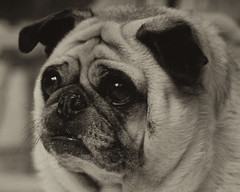 "Agent ""F"" (Just Joe ( Finally getting the hang of this)) Tags: dog pet sepia frank nose eyes nikon pug ears monotone meninblack hss frankthepug agentf happyslidesunday"